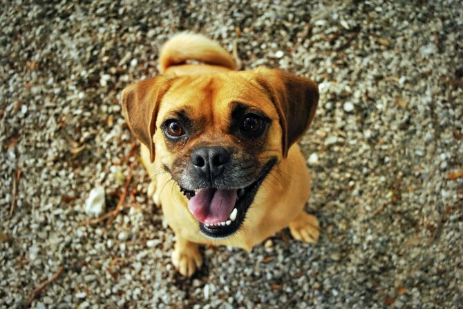 Small dog smiling with tongue out