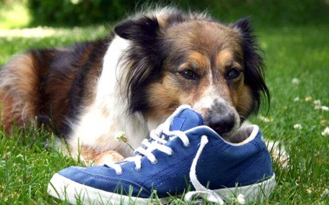 Dog chewing on blue shoe