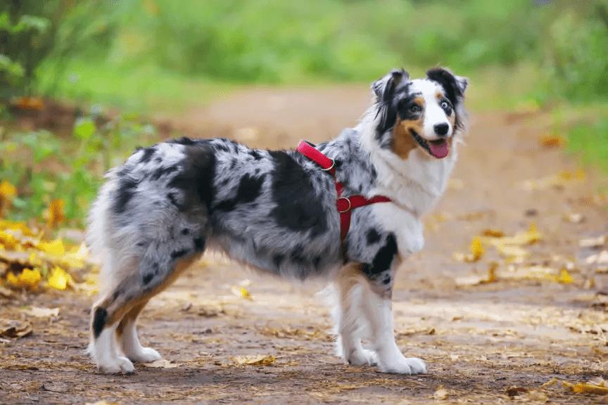 Australian Shepherd longest living dog breed
