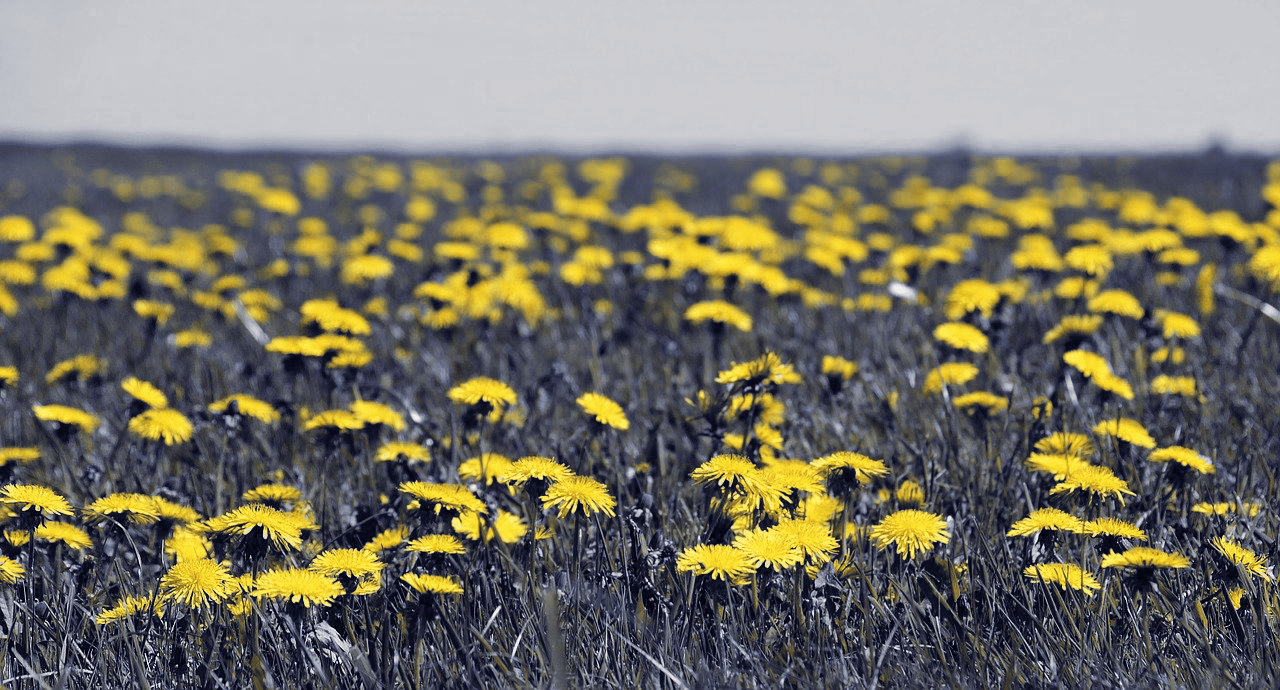 How dogs may see dandelion flower field