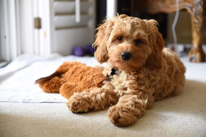 Cockapoo dog one of longest living dog breeds