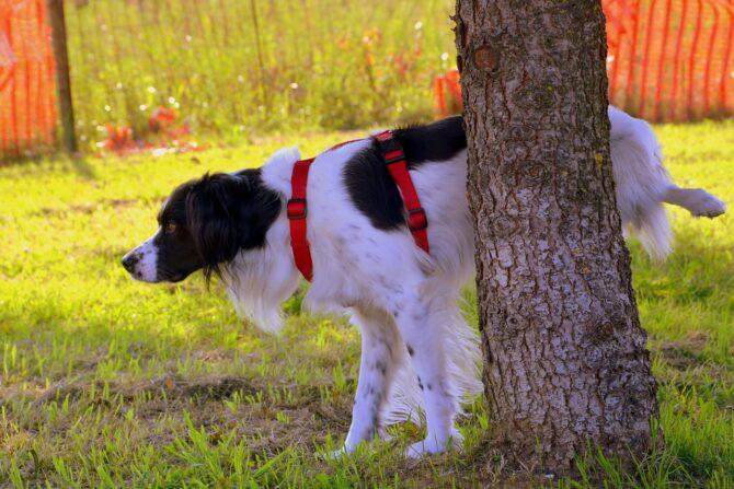 Dog peeing behind the tree
