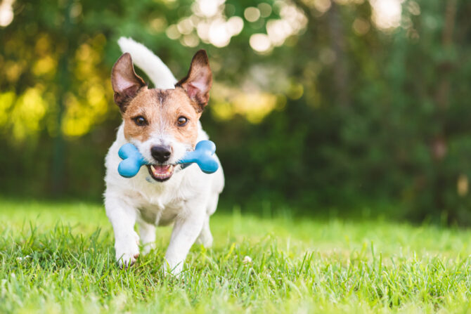 Happy and cheerful puppy playing fetch with toy bone at backyard lawn