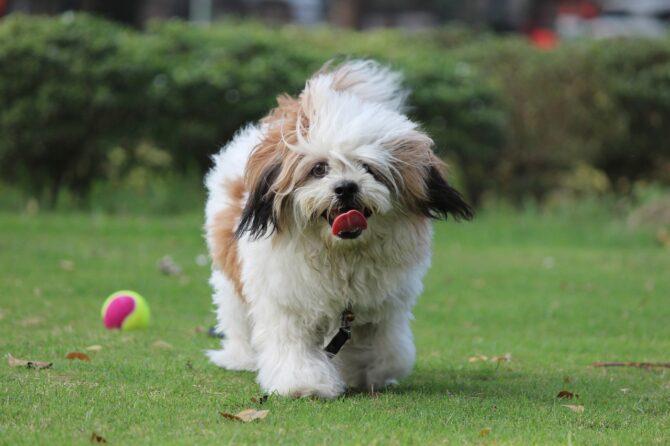 Lhasa Apso one of longest living dog breeds