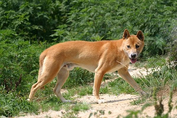 New Guinea Singing Dog rare longest living dog breeds