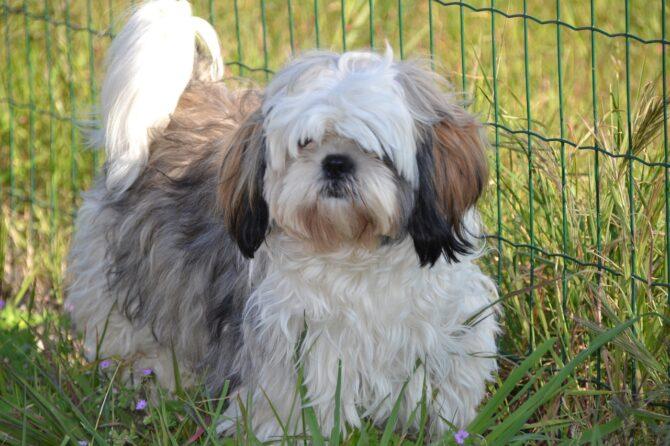 Shih Tzu furry dog breed