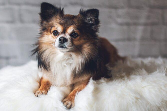 Small cute Chihuahua dog breed