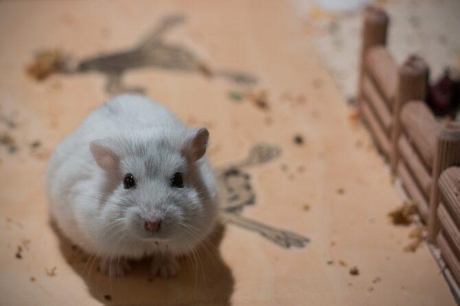White calm rodent