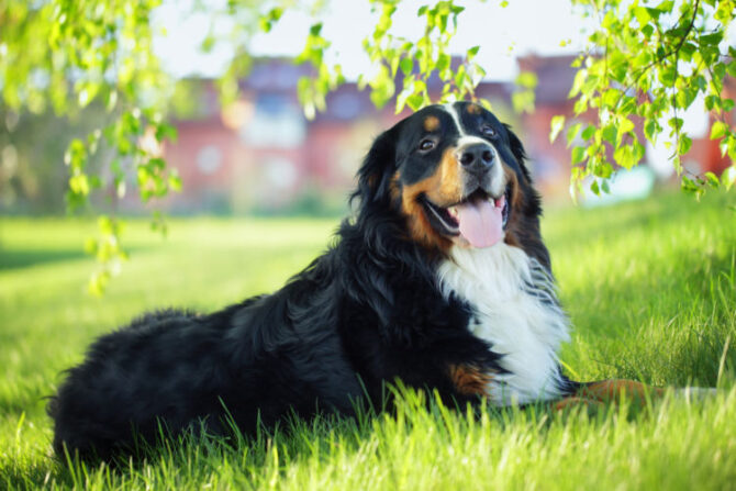 Bernese Mountain Dog on the Grass