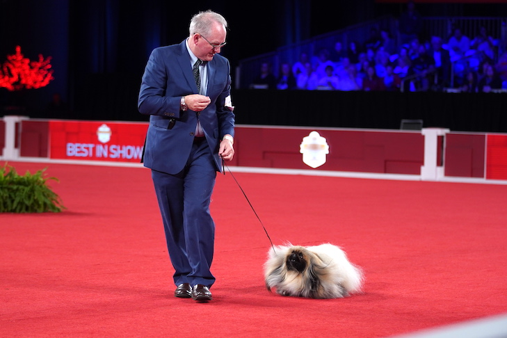 How Wasabi the Pekingese Went From Unknown to History-Making