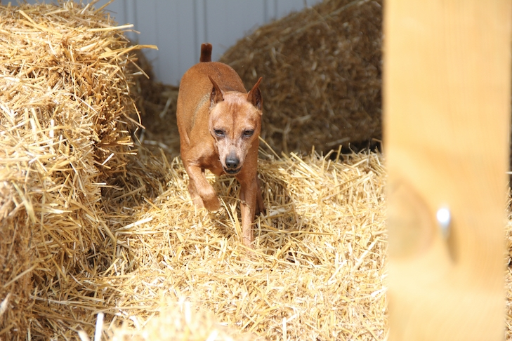 They Smell a Rat! How the Game of Barn Hunt Continues to Grow