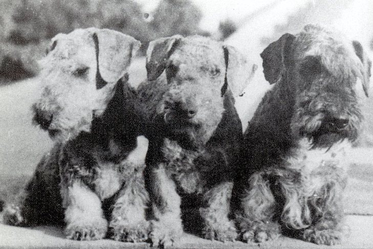Cesky Terrier History: From a Bohemian Hunting Dog to the Terrier Group